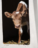 Guernsey calf Royalty Free Stock Photography