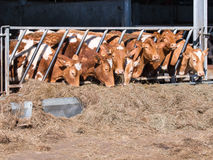 Guernsey cattle in cowshed Royalty Free Stock Images