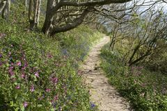 Guernsey Coast Path Near Marble Bay with Spring Flowers. Southern Guernsey woodland coast path walk with spring flowers including bluebells and campion, near Stock Photos