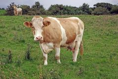 Guernsey Cow. A Guernsey breed of Cow in Field stock images