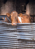Guernsey cow in cowshed. Guernsey dairy cow in cowshed lookin gover gate stock image