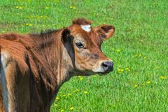 Guernsey Cow in Green Pasture Royalty Free Stock Photography
