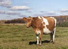 Guernsey cow Stock Photo