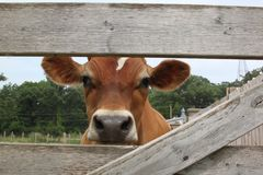 Curious Jersey cow looks through the fence. A curious beautiful guernsey dairy cow peers through weathered old wooden farm the fence Stock Photos