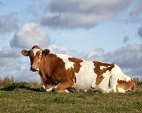 Guernsey cow. Lying down in a pasture.  Autumn in Wisconsin Royalty Free Stock Image