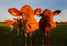 The Guernsey Cow Royalty Free Stock Image