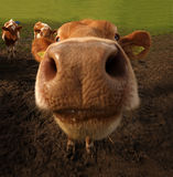 The Guernsey Cow Stock Photo