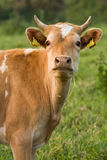 The Guernsey Cow Stock Photography