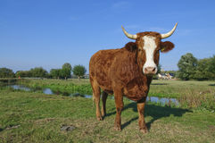 Guernsey cow in Suffolk Stock Photography