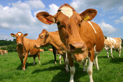 Guernsey Cows Royalty Free Stock Photo