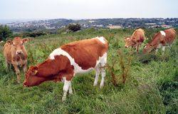 Guernsey cows on farmland hillside in Guernsey Royalty Free Stock Photo