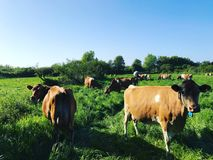 Guernsey Cows Stock Images