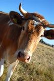 Guernsey krowa. Zdjęcie Stock