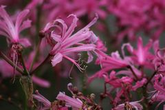 Guernsey lilja Royaltyfria Bilder