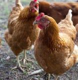 Guerra da galinha Imagem de Stock