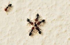 Guerra de las hormigas Fotos de archivo libres de regalías