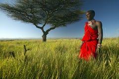 Guerreiro do Masai no vermelho que está a árvore próxima da acácia e que examina a paisagem da tutela de Lewa, Kenya África imagem de stock royalty free