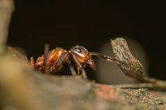 Guerrero de la hormiga Foto de archivo libre de regalías