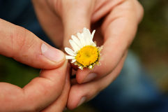 Guessing at camomile. Loves Me... Loves Me Not... Plucking the petals of flowers to answer the question Stock Images
