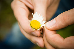 Guessing at camomile Stock Photos