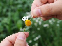 Guessing on a camomile Stock Photos