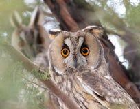 Gufi Long-eared (otus del Asio) Fotografie Stock