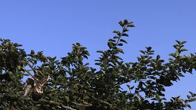 Gufo comune, otus del asio archivi video