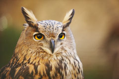 Gufo con gli occhi di giallo e fondo caldo in Spagna fotografie stock libere da diritti