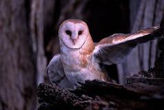 Gufo del Uccello-Granaio immagine stock libera da diritti