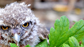 Gufo dell'uccello Fotografie Stock