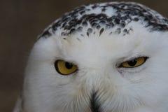 Gufo-delle Muttermale - Snowly-Eule Lizenzfreies Stockbild