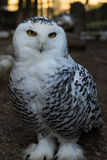 Gufo delle nevi - Snowly Owl Stock Images