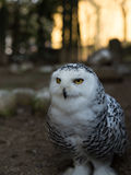 Gufo dellenevi - Snowly uggla Arkivfoto