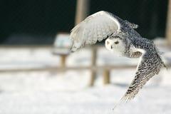 Gufo dello Snowy Fotografie Stock