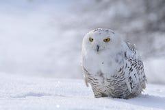Gufo dello Snowy immagine stock libera da diritti