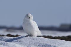 Gufo dello Snowy Fotografia Stock