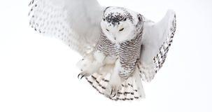 Gufo dello Snowy Fotografia Stock Libera da Diritti