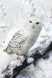 Gufo dello Snowy in neve fotografie stock