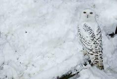 Gufo dello Snowy in neve Immagini Stock