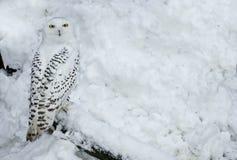 Gufo dello Snowy in neve fotografia stock libera da diritti