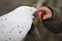 Gufo dello Snowy (scandiaca di Nyctea) fotografia stock libera da diritti