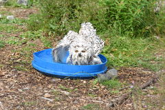 Gufo di Bathtime Snowy Fotografia Stock