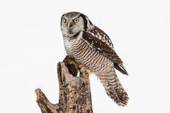 Gufo di falco nordico Fotografia Stock Libera da Diritti
