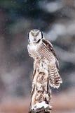 Gufo di falco nordico Fotografie Stock
