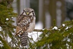 Gufo di falco nordico - ulula di Surnia Fotografia Stock