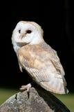 Gufo di granaio (Tyto alba) Immagine Stock Libera da Diritti