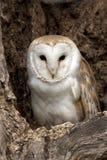 Gufo di granaio - Tyto alba Fotografia Stock Libera da Diritti