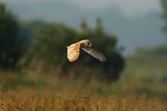 Gufo di granaio - Tyto alba Immagini Stock