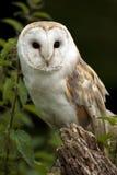 Gufo di granaio (Tyto alba) - Regno Unito Fotografie Stock