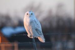 Gufo di Snowy Fotografie Stock Libere da Diritti